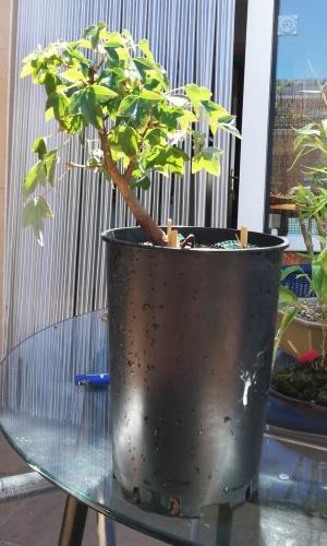 Bonsai ARCE TRIDENTE-TRASPLANTE-2019/05/09 - rafarivas