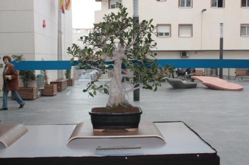 Bonsai Ficus Retusa - Novelda Club Bonsai - torrevejense