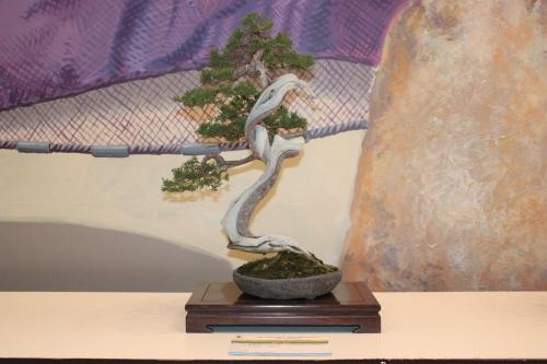 Bonsai Bonsai Juniperus Chinensis - Jaume Canals - torrevejense