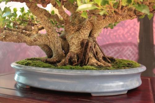 Bonsai Ficus Retusa de Jaume Canals - Detalle del tronco - torrevejense