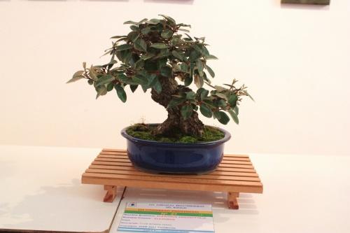 Bonsai Bonsai Eleagnus Angustifolia - Juan Jose Pacheco - torrevejense