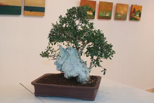 Bonsai Bonsai Olea Europaea - Olivo - torrevejense