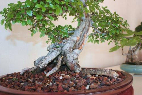 Bonsai Zelkowa Parvifolia o Bonsai Olmo Chino - torrevejense