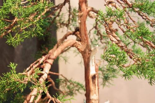 Bonsai Bonsai Junipero Phoenicea - CBALICANTE