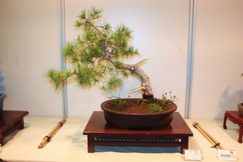 Bonsai Pino - Miguel March - Alicante Natura - CBALICANTE