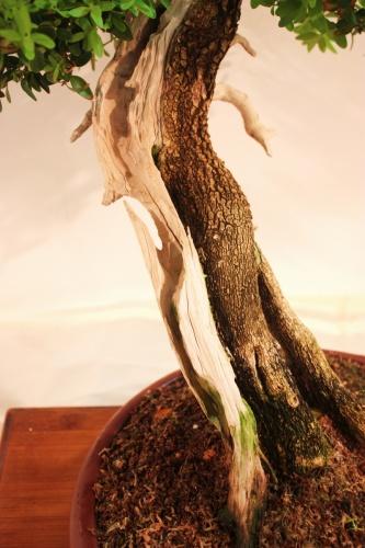 Bonsai Bonsai Boj, detalle del tronco - CBALICANTE