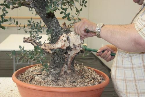 Bonsai Primeros pasos en la formación de su bonsai recuperado - torrevejense