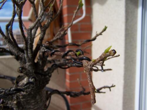 Bonsai Mi Ficus - Brotes 2 - Miguel