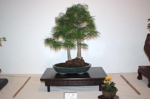 Bonsai Alerce - Pseudolarix amabilis - CBALICANTE
