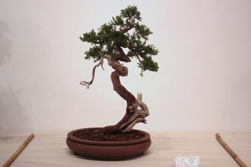 Bonsai Juniperus Chinensis - Club Bonsai Alicante - CBALICANTE