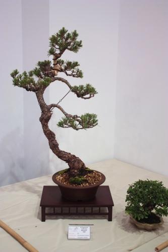 Bonsai Pino Thumbergii - CBALICANTE