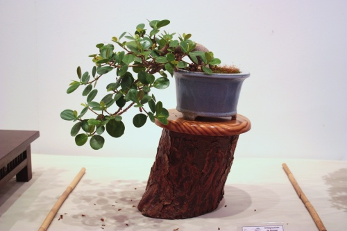 Bonsai Ficus Panda - Miguel March - CBALICANTE