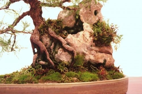 Bonsai Tamarix sobre roca - CBALICANTE
