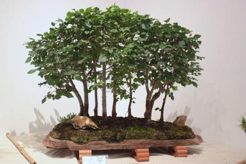 Bonsai Bosque de Olmos - Fco Lopez Cebrian - CBALICANTE