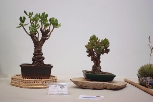 Bonsai Arbre del Jade - CBALICANTE