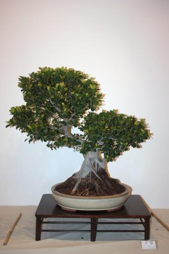 Bonsai Ficus Microcarpa Compacta - CBALICANTE