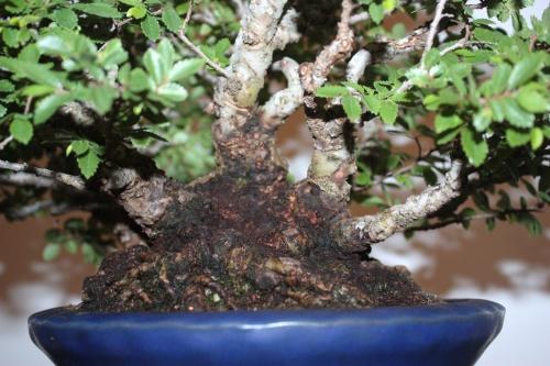 Bonsai Nebari Rododendro - Juan Campo - CBALICANTE