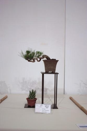 Bonsai Pinus Thumbergii - CBALICANTE