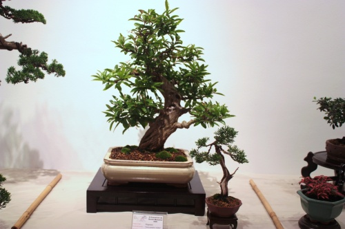 Bonsai Granado de Fernando Gambin - CBALICANTE