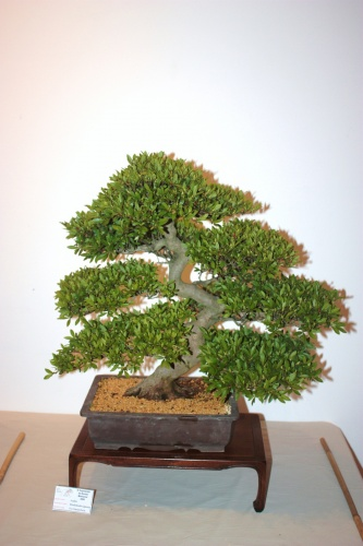 Bonsai Azalea Fco Garcia Pavia - CBALICANTE