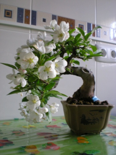 Bonsai Manzano. - Sherpa