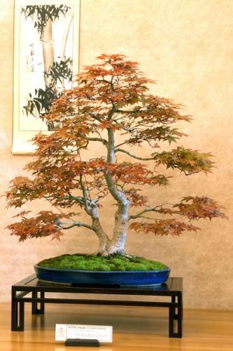 Bonsai Acer Palmatum - Giorgio Castagneri - bonsaime