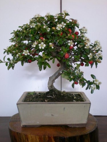 Bonsai Cotoneaster-1 - Elias
