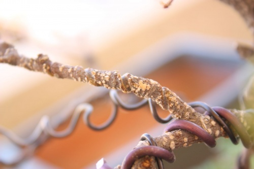 Bonsai Marcas de alambre en la rama - Miguel