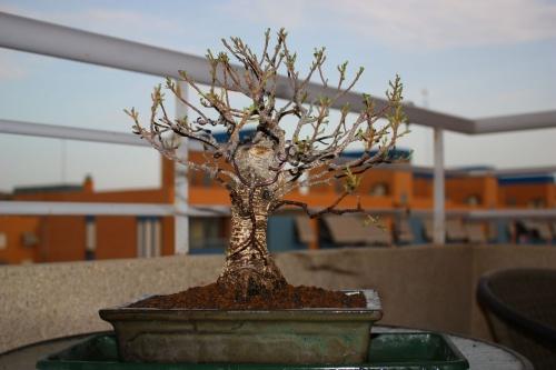 Resultado de este segundo trabajo sobre mi Ficus