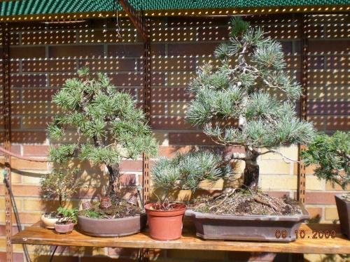 Bonsai Sección de pinos. - Sherpa