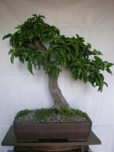Bonsai Bouganvilla-A1 - Elias