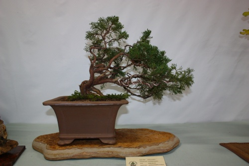 Bonsai Junipero Sabina - Assoc. Bonsai Cocentaina