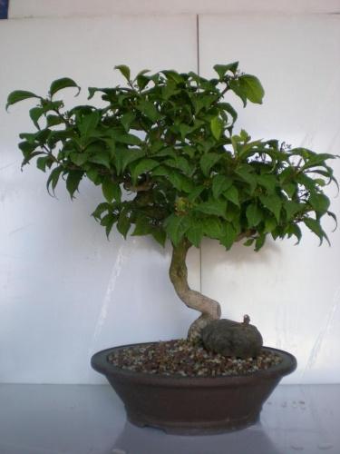 Bonsai Callicarpa murasaki-2 - Elias