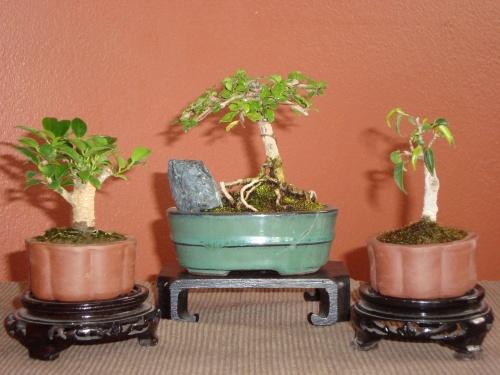 Bonsai Ficus Nitida/ Fukien Tea/ Ficus Kiki - Luis
