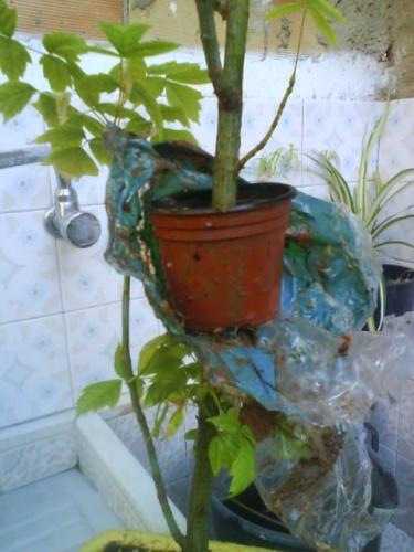 Bonsai evolucion de un acodo de arce negundo - javel