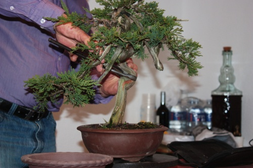 Bonsai Comienza a retirar madera muerta - Assoc. Bonsai Muro