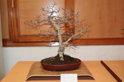 Bonsai Olmo - Ulmus - Con dos troncos - Assoc. Bonsai Muro