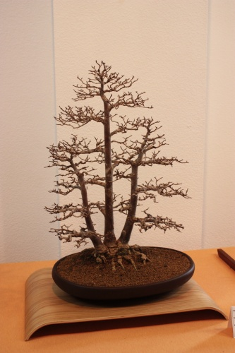 Bonsai Olmo ( Ulmus Minor ) del club Bonsai Novelda - Assoc. Bonsai Muro