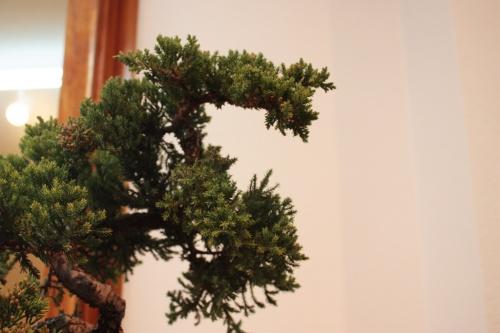 Bonsai Ampliacion del Juniperus Rigida - Assoc. Bonsai Muro