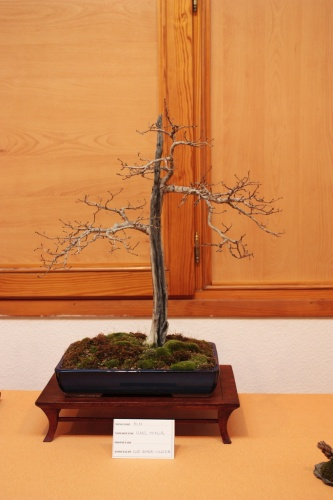 Bonsai Olmo del Club Bonsai Villena ( Ulmus Minor ) - Assoc. Bonsai Muro