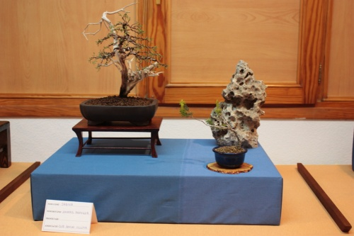 Bonsai Otra sabina del Club Bonsai Villena - Assoc. Bonsai Muro
