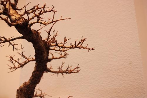Bonsai Una de las copas de un tronco - Olmo Chino - Assoc. Bonsai Muro