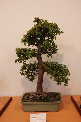 Bonsai Arbol de Jade de Juan Carlos Lopez - Assoc. Bonsai Muro