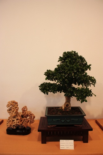Bonsai Erethia Buxifolia, Carmona - Assoc. Bonsai Muro