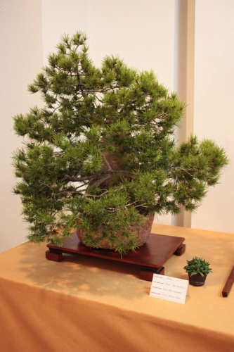 Bonsai Pino Halepensis - Juan Saez - Club Bonsai Elx - Assoc. Bonsai Muro