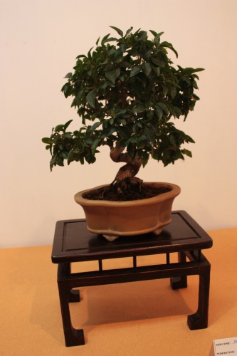 Bonsai Ligustrum Vulgare - Elche - Assoc. Bonsai Muro