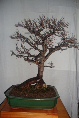 Bonsai olmo comun - javel