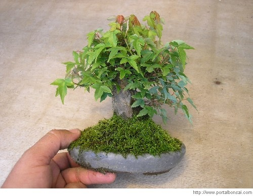 Bonsai Arce burgeniano mini - Bonsais Robados