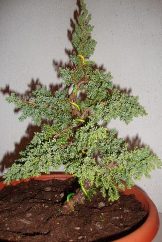 Bonsai junipero procumbes - javel