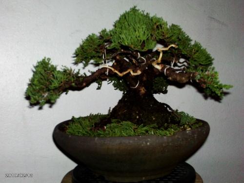 Bonsai pino procum nana - junny